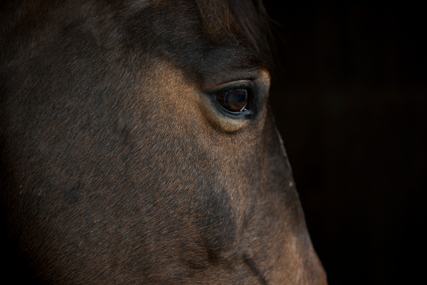 Animal Portraits: The Study of a Horse 1